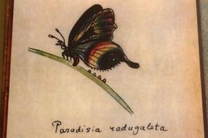 Paradisia radugaleta — бабочка, придуманная и нарисованная Набоковым для романа «Лолита»
